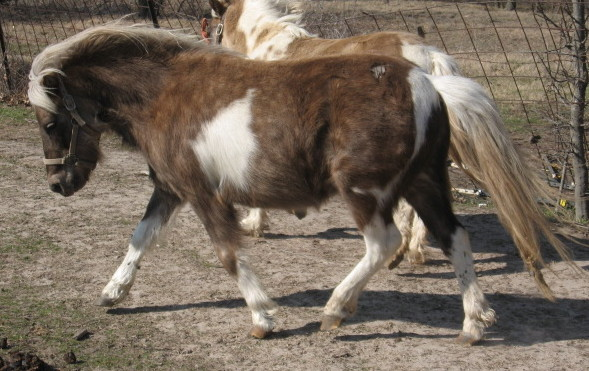 Chocolat silver tobiano